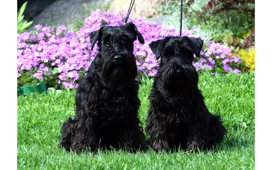 Czarne psiaki
